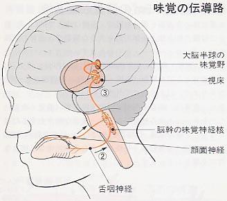 味覚が伝わる脳